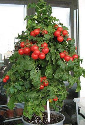 Карликовые помидоры в домашних условиях